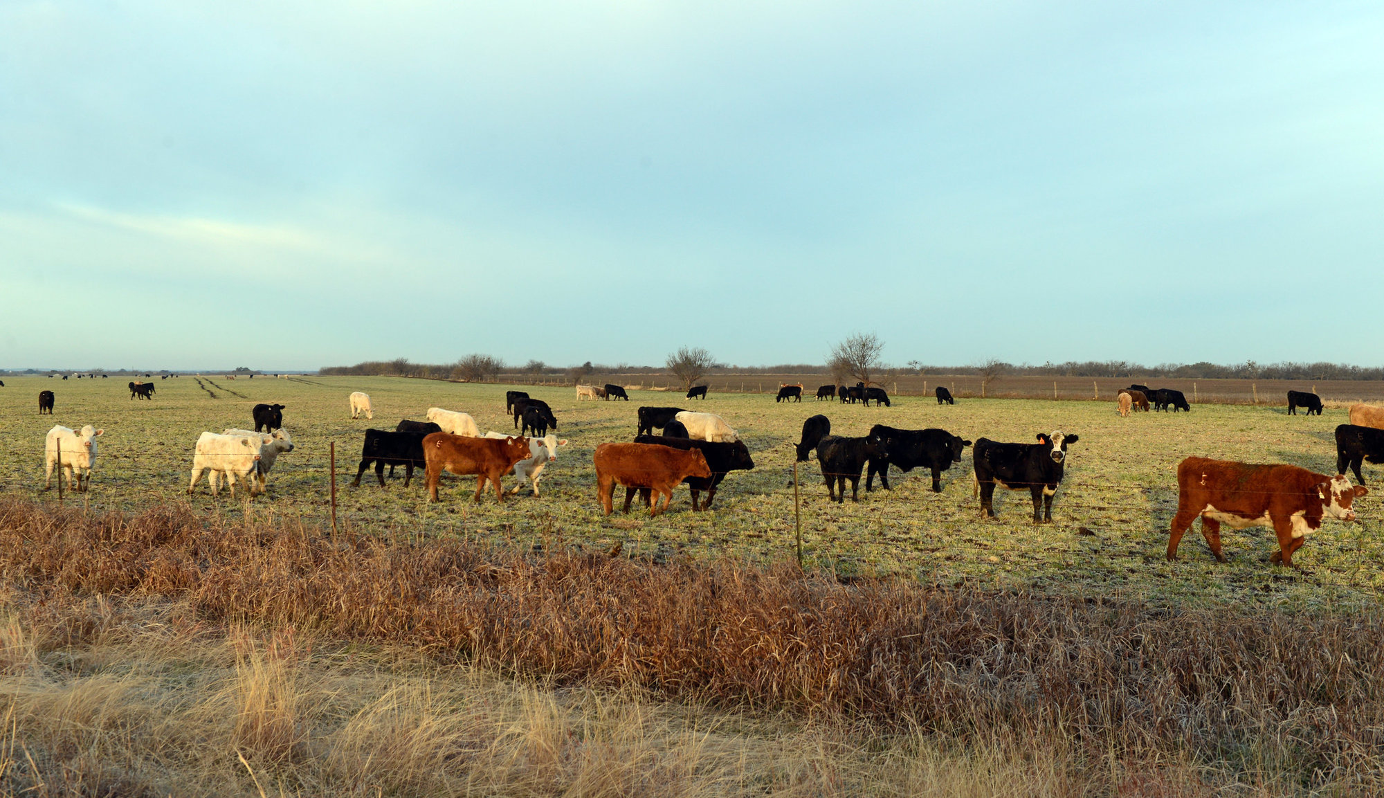 Photo of Cattle Grazing in a Field, Coleman County, Texas